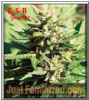 B-S-B Genetics Auto Amnesia Haze Female 5 Seeds